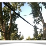 Tree Cabling Installed