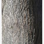 Tree of Heaven - Identify by Bark