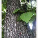 western catalpa - Catalpa speciosa Bark, Leaves and Flowers