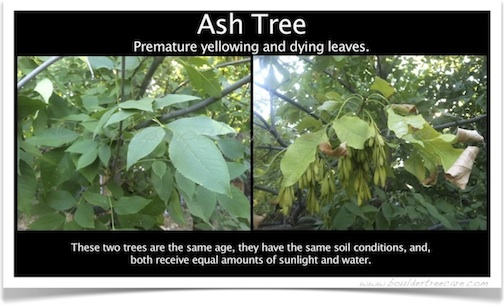 Ash tree premature yellowing leaves dying.