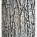 Boxelder - Bark