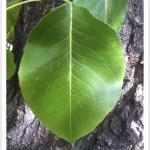callery pear - Pyrus calleryana - Leaf - Fruit