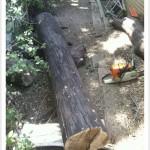 chainsaw milling black walnut log
