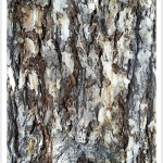 douglas fir bark