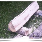 first chainsaw cut on ash tree