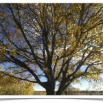 honey locust - Gleditsia triacanthos - Branches in Fall