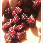 Edible red mulberries ready to eat!