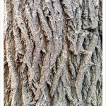 Mulberry Tree Furrowed Bark