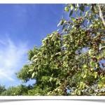 mulberry tree berries