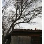 mulberry tree deciduous