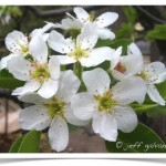 Bartlett Pear flowers are small with 5 white petals.