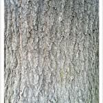 pin oak - Identify by Bark