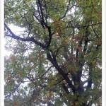 pin oak - Quercus palustris - Branching