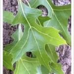 pin oak - Quercus palustris - Leaves