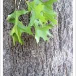 pin oak - Quercus palustris - Leaves and Bark
