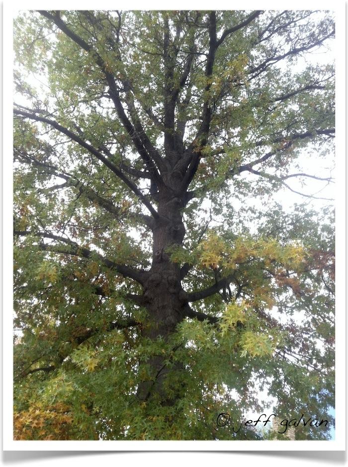 Pin Oak Branches