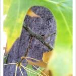 pin oak - Quercus palustris - Twig