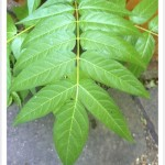tree of heaven leaf