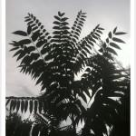 tree of heaven silhouette