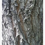 weeping willow bark