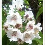 Western catalpa flowers are huge, beautiful flowers.