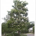 western catalpa tree